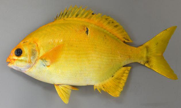 SL 50cm前後になる。背鰭軟条通常12、尻鰭軟条通常11。吻は長く尖る。[黄化個体]
