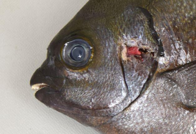 SL 50cm前後になる。背鰭軟条通常12、尻鰭軟条通常11。吻は長く尖る。