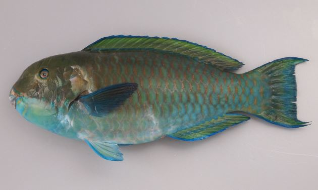 SL 70cm前後になる。細長く頭部から尾にかけて徐々に細くなる。目が小さい。幼魚期から若魚期、大型でも雌の時期で退色形態が変わる。頭部は大きくなり雄に性転換するとともに出てくる。