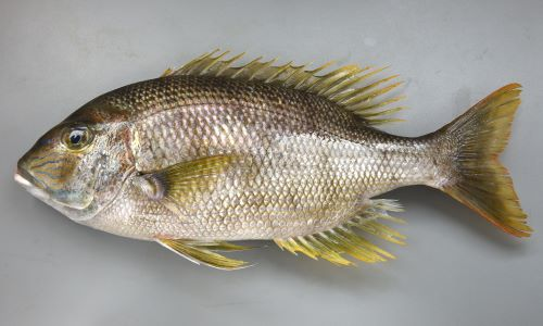 サザナミダイの生物写真