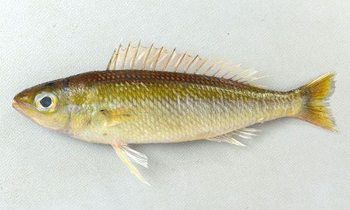 体長20cm前後になる。細長く鱗は体の割りに大きくざらつく。尾鰭上葉、下葉は伸びない。体側の中央部の筋文様は白い。