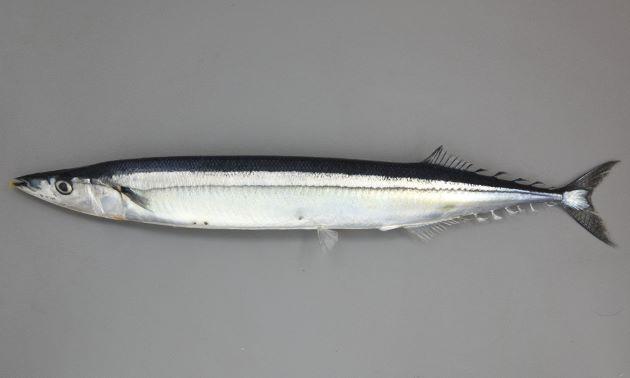 35cm前後になる。頭が小さく細長い。口はややくちばし状になり、尻鰭、背鰭が非常に後方にある。