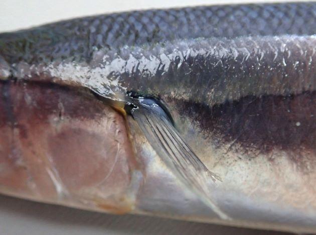 受け口で新鮮なもの、若い個体は下顎の先端がオレンジ色。