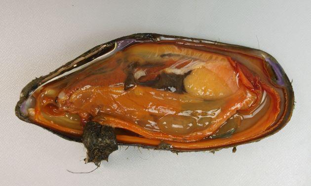 軟体部分は殻と比べると少なくボリュームがない。