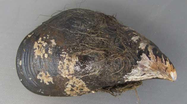 エゾイガイの形態写真
