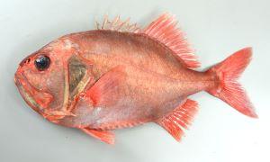 ハシキンメのサムネイル写真