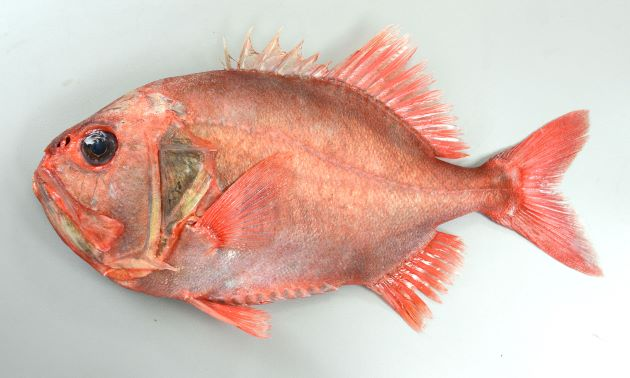 体長40cm前後になる。体高が高く側扁(左右に平たい)する。金属を思わせる赤色で表面がザラザラしている。肛門よりも前方、腹部下に稜鱗(硬くて先がとがった鱗)がある。