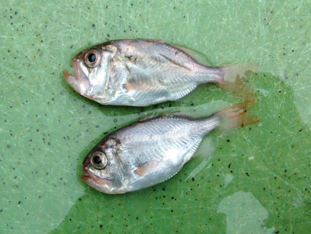 秋に巻き網で揚がったハシキンメの稚魚。