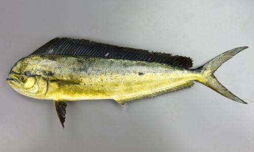 SL 2m 前後。背鰭は1、細長く側へんする。大型になるにつれて頭部は上と前方に張り出す。[SL 60cm]