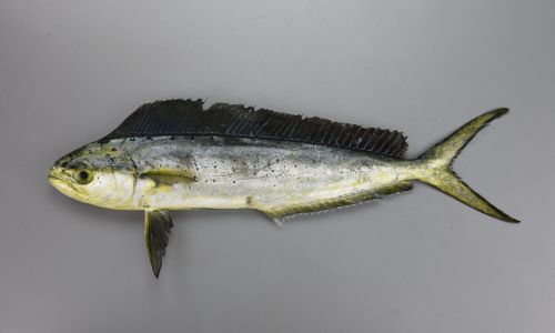 SL 2m 前後。背鰭は1、細長く側へんする。大型になるにつれて頭部は上と前方に張り出す。[SL 29cm]