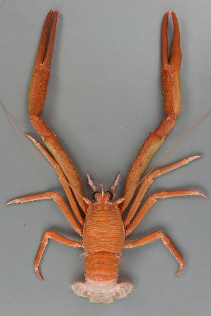 甲長40ミリ前後になる。生きているときから朱色(オレンジ色)で尾は白い。額角の先端と根元が赤い。