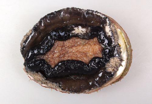 貝殻の表面に凸凹のないもの。軟体部分のへりが黒い。[裏側]