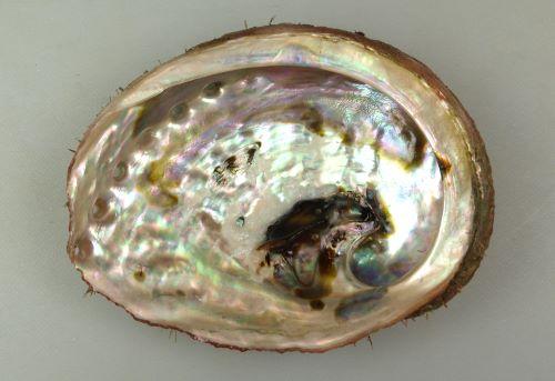 貝殻の内側。