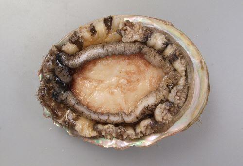 貝殻の表面が凸凹コツゴツしていて、軟体部分が黒くないタイプ。[裏側]
