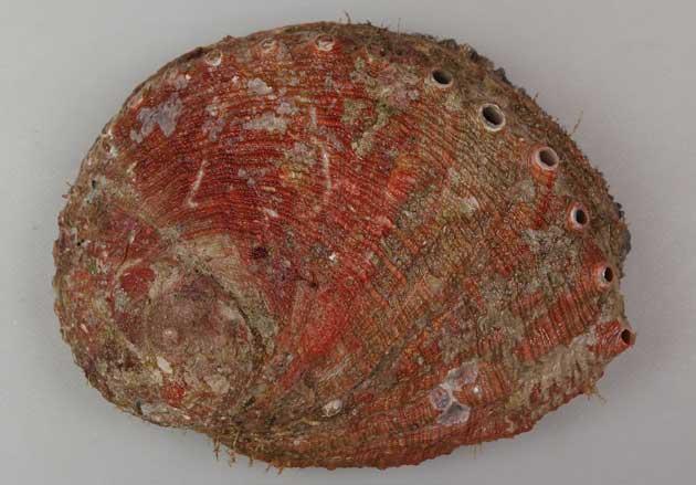 殻長12cm前後になる。貝殻は赤く、厚みがありやや硬質な感触ではなく鈍い。表面にはっきりした筋状の成長脈がある。貝殻の表面に凸凹のないもの。軟体部分のへりが黒い。[表側]
