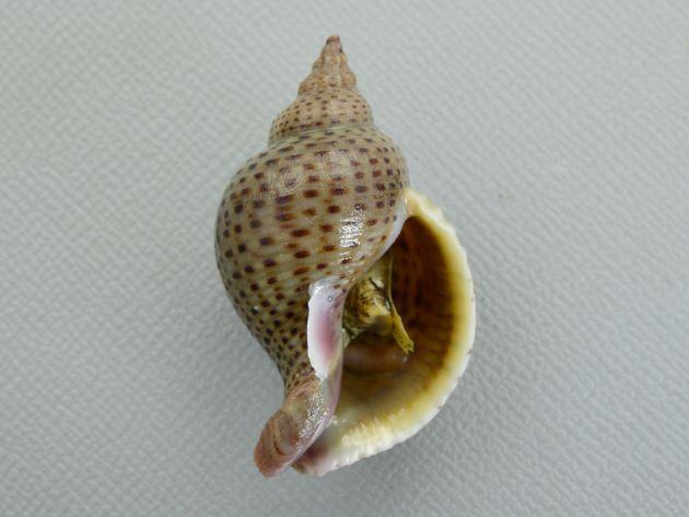シマアラレミクリの形態写真