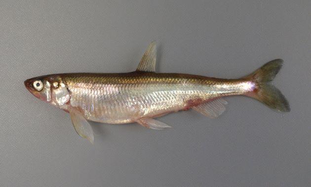 12cm SL 前後になる。側へんし、細長い。側線は前方にだけある。尻鰭の外縁は丸い。[雌]