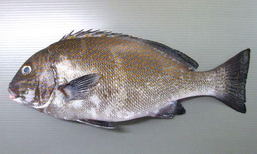 オシャレコショウダイの生物写真
