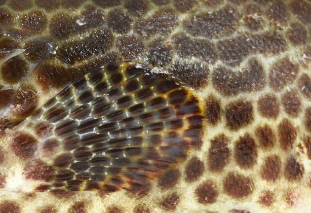 胸鰭の暗色斑紋は網目状をなし、体側中央部分の斑紋は縦につながり帯状に見えるものがある。