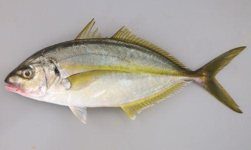 体長70cm前後になる。側へんして幼魚・若魚のときには側面か見ると体の中心部が高い猫の目形、大きくなるに従い芽の後ろ上部が盛り上がってくる。生きているとき、鮮度のいいときには黄色い縦縞が1本体側に走る。