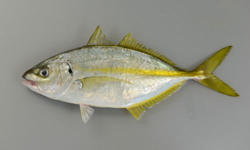 体長20cm弱の若魚。体側から見るときれいなアーモンド(猫の目形)をしている。