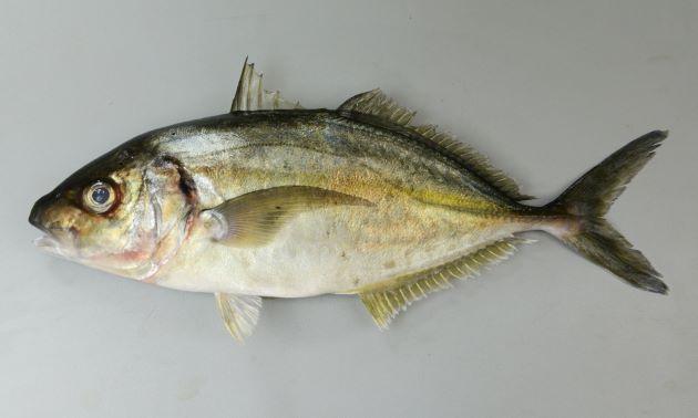 養殖場から逃げ出したもの。養殖魚は天然ものよりお目が大きく頭部が大きい。