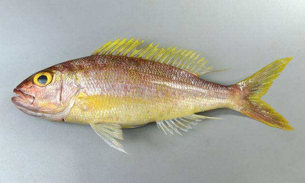50cm SL 前後になる。紡錘形に近くてやや側へん。体側に斑紋はなく、鮮度のいい内には黄色(黄金色)をしている。生時(鮮度のいいとき)、虹彩は黄金色。頭部には黄色い虫食い状の斑紋がある(ナガサキフエダイほど明鏡ではない)。尾鰭後縁は黄色い。[34cm SL ・重さ0.81kg]