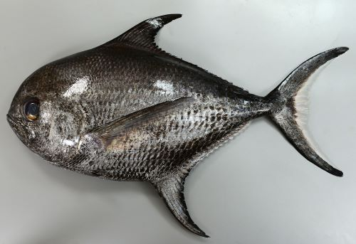 ヒレジロマンザイウオの生物写真