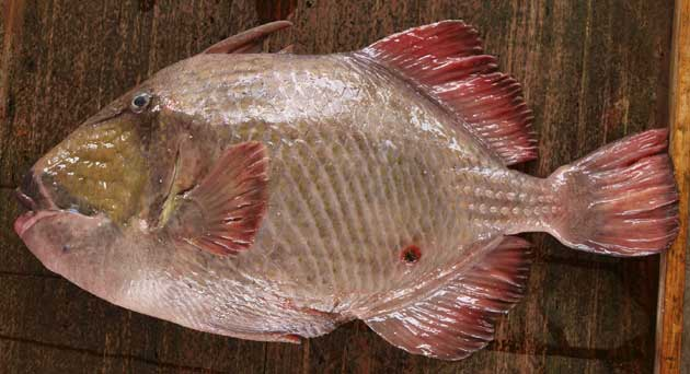 沖縄県与那城漁協に並ぶ大型個体。