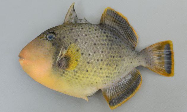 体長53cm前後になる。側へんして頬に浅いくぼみが数本ある。尾柄に棘がす5〜6列並ぶ。