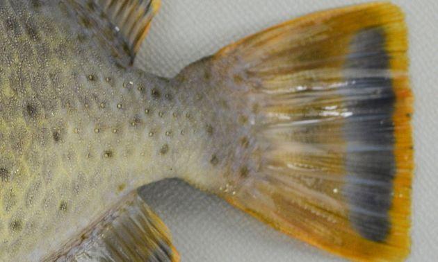 尾柄に棘がす5〜6列並ぶ。