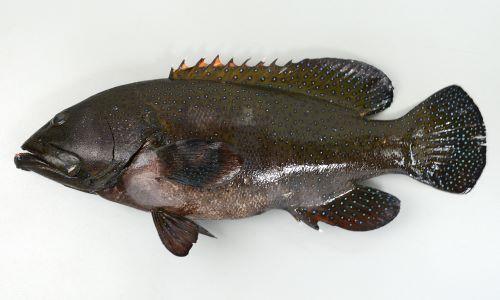 体長40cm前後になる。背鰭棘は9、主鰓蓋骨後縁に棘がない。尾鰭は丸く、胸鰭は頭長よりも短く暗色で中央の軟条が長い。体にコバルトブルーの小さな斑紋がある。
