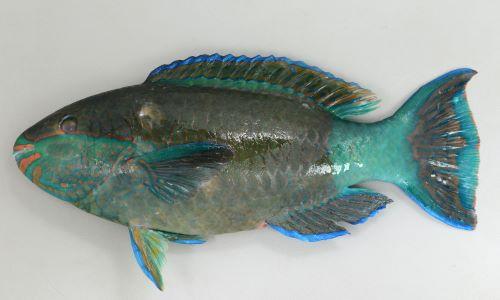 アミメブダイの生物写真