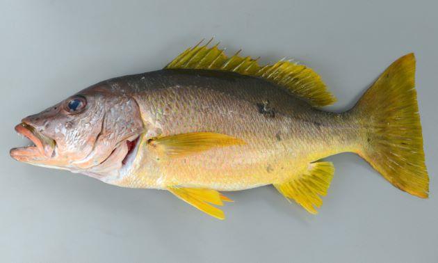 イッテンフエダイ | 魚類 | 市場...