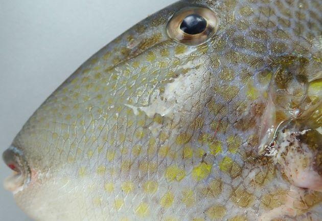 頬に縦の溝が並ばない。目の前方に溝状のくぼみがある。