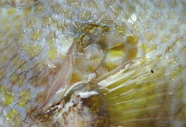 鰓孔の後部に肥大化した鱗がある。
