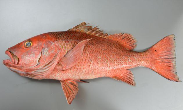 80cm前後になる。赤銅色で鱗に黒褐色の斑文がある。背鰭にも鱗がある。写真は体長75cm、石垣島水深200m。