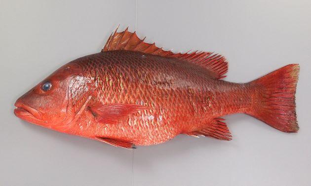80cm前後になる。赤銅色で鱗に黒褐色の斑文がある。背鰭にも鱗がある。写真は体長50cm、長崎県五島列島。