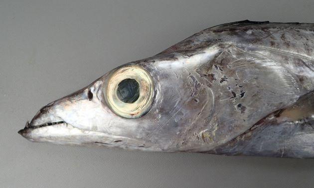 2m TL(全長)前後。尻鰭がない。体高(帯状の幅)が低く、目が大きい。目と目の間はくぼむ。