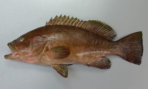 体長62cm前後になる。全体に暗赤銅色で褐色のなかに網目模様がある。頭部は鈍い。尾鰭は截形か少し後方に丸く白い縁取りがない。ホウセキハタよりも大きくなる。