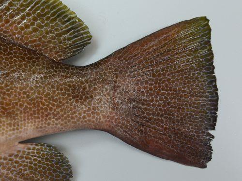 尾鰭は截形で、透明(白)い縁取りがない。