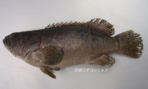 タマカイの生物写真
