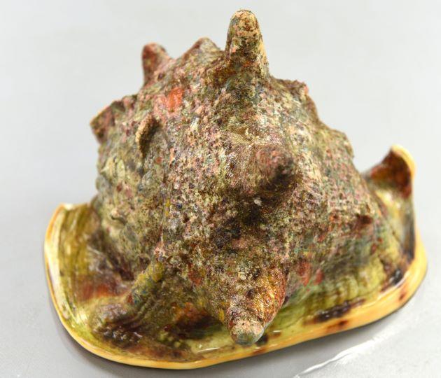 トウカムリの形態写真