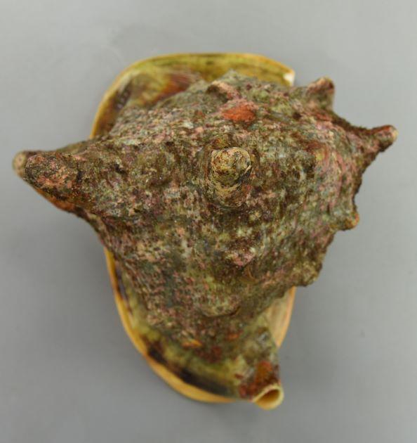 30cm SL 前後になる。非常に貝殻が厚く硬い。持ち重りがする。肩の部分に強い瘤状、角状の突起がある。殻口が狭い。外唇、内唇、軸唇は一枚の板状に外側に広がる。