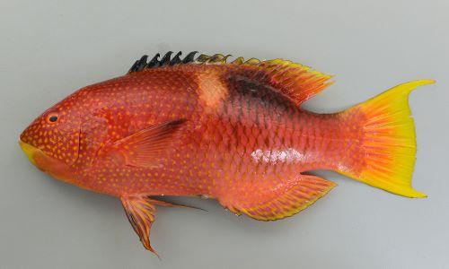 体長80cm前後になる。頭部と体側前半にゴマ状の黄色い斑紋が散らばる。背びれ前半は黒く、後半は赤い。尾鰭は湾入し後部上部と下部は長くのびる。尾鰭は湾入する。小型は中上背の部分にある黄色い帯がはっきりと見え黒い斑紋がある。
