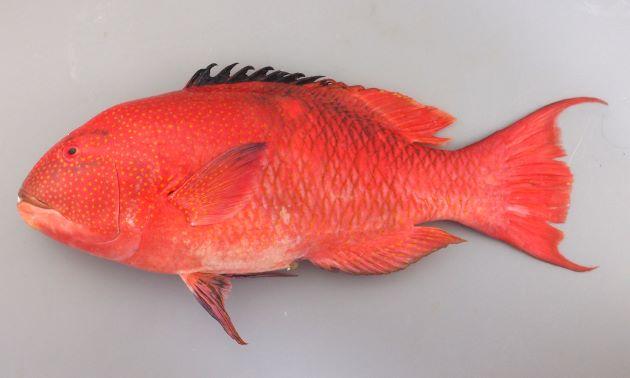 体長80cm前後になる。頭部と体側前半にゴマ状の黄色い斑紋が散らばる。背びれ前半は黒く、後半は赤い。尾鰭は湾入し後部上部と下部は長くのびる。尾鰭は湾入する。大型は中上背の部分にある黄色い帯とその後ろにある黒い斑紋がはっきりしない。