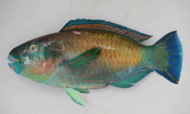 SL30cm前後になる。ラグビーボールを左右に変形させたような形をしている。体側の背から腹にかけて、大きな黄色もしくは薄い褐色の斑紋がある。腹には2-3本の赤い縦筋がある。