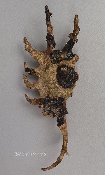 フシデサソリの形態写真