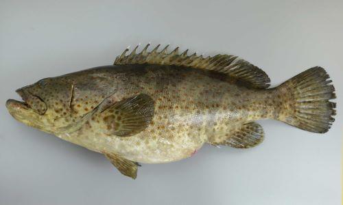 SL 80cm前後。尾鰭は丸く、体全体に茶色の斑紋がちらばる。地色に薄い部分・濃い部分はあるがはっきりしない。
