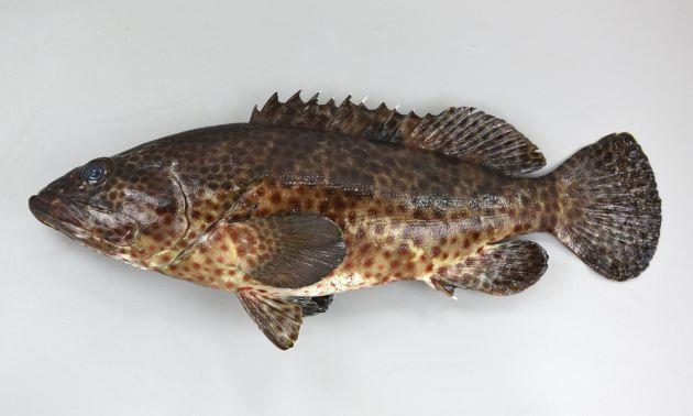120cm TL 重さ15kg前後になる。尾鰭は丸く、体全体に茶色の斑紋がちらばる。地色に薄い部分・濃い部分はあるがはっきりしない。